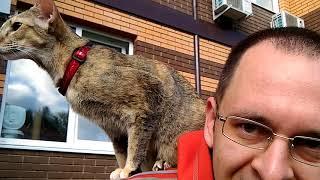 Как приучить хозяина гулять с кошкой на шлейке