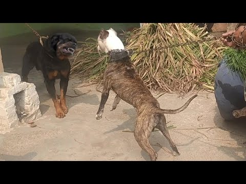 Pitbull VS Rottweiler Real Fight – Rottweiler VS Pitbull Fight – Blondi Foks