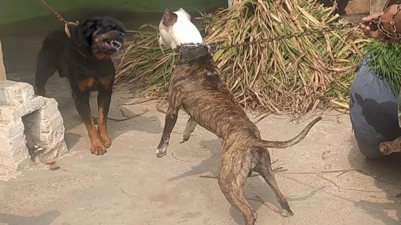 Pitbull VS Rottweiler Real Fight - Rottweiler VS Pitbull Fight - Blondi Foks