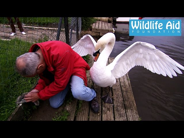 Cygnet rescue – Simon beaten up by an angry swan