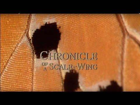 Chronicle of a Scale-wing