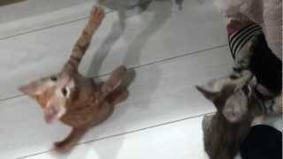 エサが待ちきれない子猫!鳴き声可愛すぎ♪ cute kitten whinny