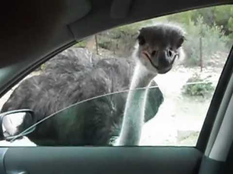 Rsultat de recherche dimages pour autruche attaqie jeep