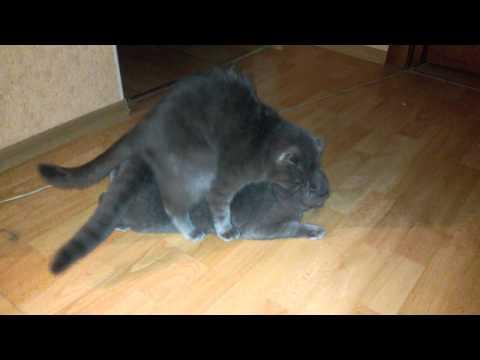 Британские кошки. Британские котята. Питомник британский