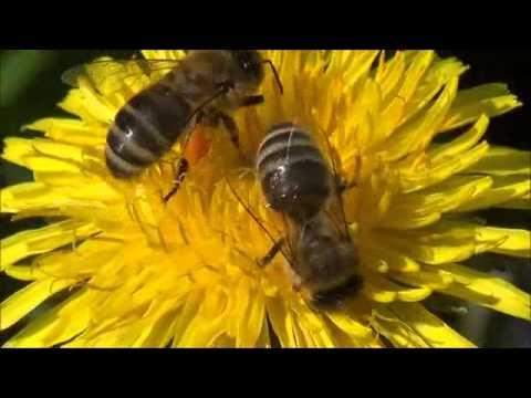 Видео как пчелы собирают нектар