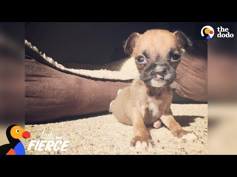 Teeny Tiny Boxer Puppy Insists On Playing With The Big Dogs | The Dodo Little But Fierce