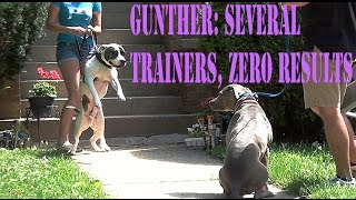 Dog Aggressive Pit Bull • Gunther Pt 1: Several Trainers, Zero Results