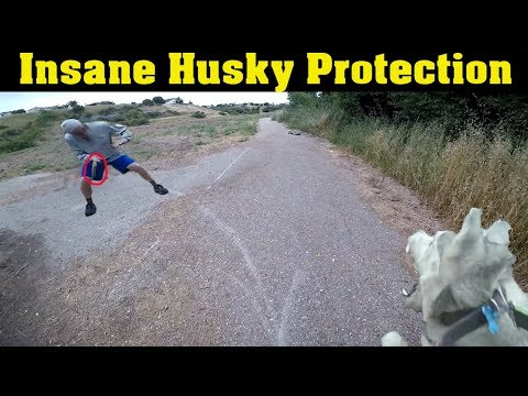 *Warning* Siberian Husky Protecting Owner Caught On Video | Guard Dog Test In Action