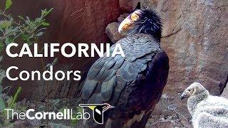 Devils Gate Condor Nest