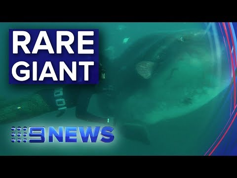 Mysterious Deep-sea Giant Emerges Off Bondi Beach | Nine News Australia