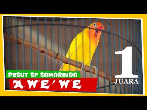 [EXCLUSIVE] AWE'WE PESUT SF Samarinda Juara 1 Kelas Utama Love Bird Piala Gubernur Banten