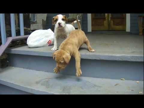 cutest pit bull  puppy masters the stairs