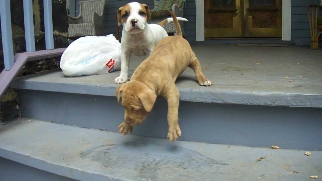 Dog Teaching Puppy Stairs Vs Cat