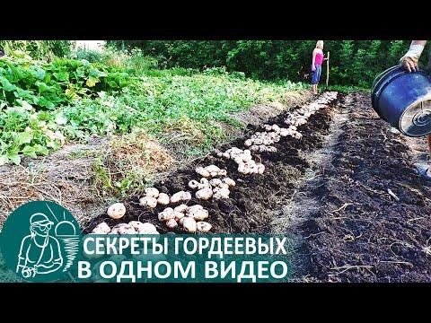 Вопрос: Что делать, чтобы морковь (верхушка) в земле не зеленела?