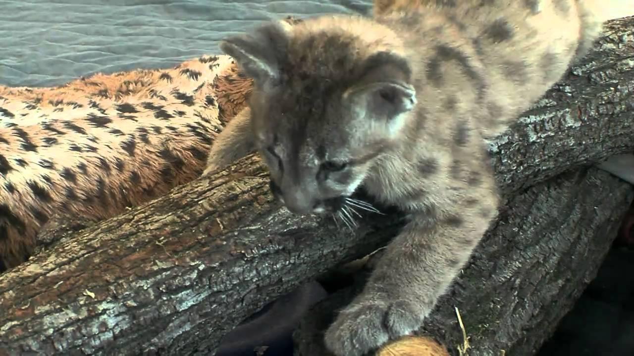 cougars in cincinnati