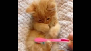 массаж котенка зубной щеткой | toothbrush massage cat