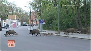 Wildschweine entern die Hauptstadt Berlin