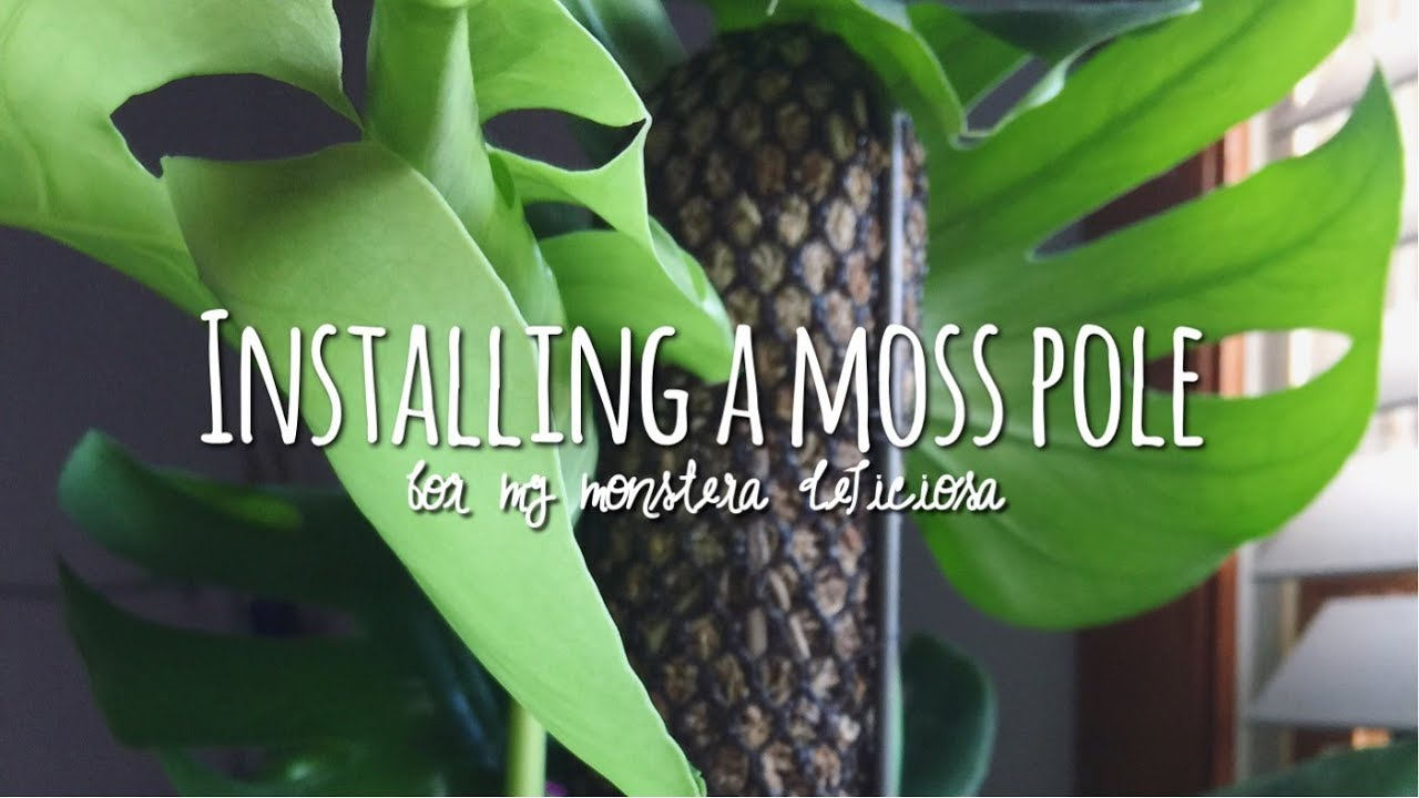 Etwas Neues genug how to install a moss totem 🌵 / monstera deliciosa houseplant #ZN_65