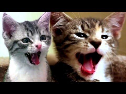 CATS SCREAM YAWNS