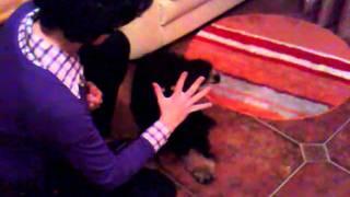 Minnie De Alsira, 6 Months Old English Cocker Spaniel