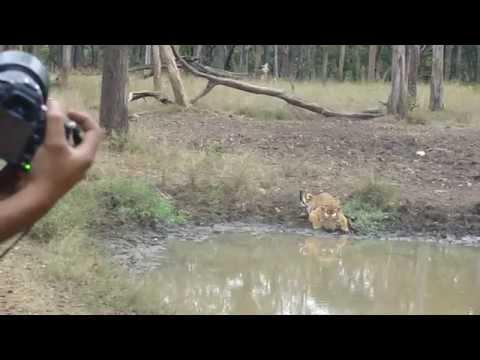 tiger shigteseeing at Ooty , mudumalai