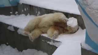 Белый медведь Кай и канистра ч/2 22.02.2015. Новосибирский зоопарк