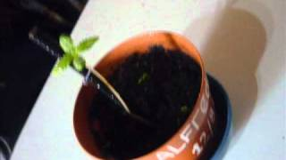 Planta de marihuana 20 dias de vida.wmv