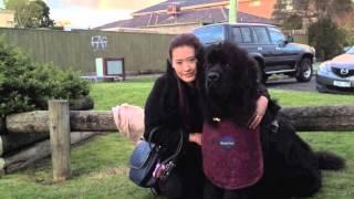 My Newfoundland Dog: A Day With Honeybun