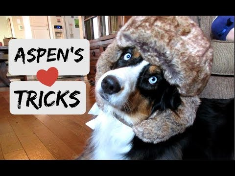 Australian Shepherd Tricks with Aspen