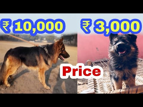 German shepherd price difference.