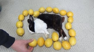 Waking A Sleeping Rabbit By Surrounding Him With Lemons