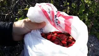 Şifa kaynağı bu meyveyi toplayın tam zamanı