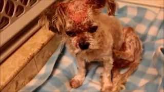 Gloria - Injured Poodle - Rescued!