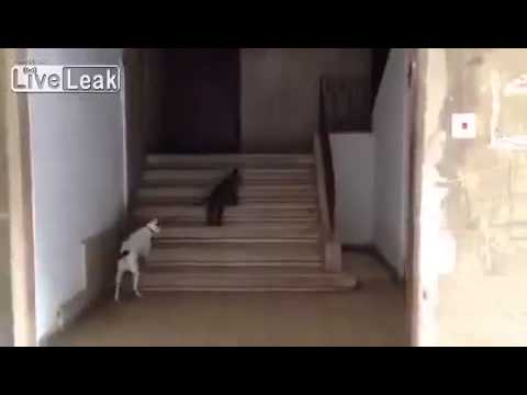 Cat Walks The Dog Like A Boss