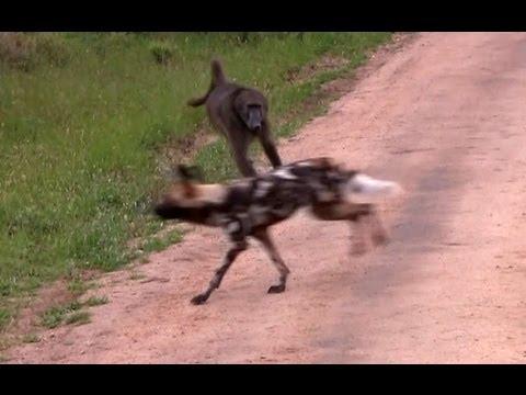 Wild Dogs Versus Baboons - 2 December 2012 - Latest Sightings