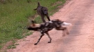Wild Dogs Versus Baboons - 2 December 2012 - Latest Sightings