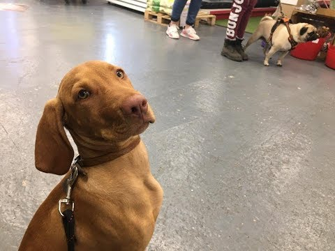 Ruby - 4 Month Old Hungarian Vizsla - 4 Weeks Residential Dog Training