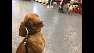 Ruby  4 Month Old Hungarian Vizsla  4 Weeks Residential Dog Training