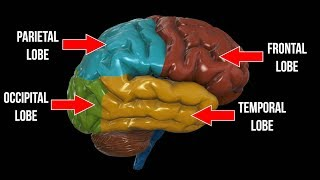 Frontal Lobe, Parietal Lobe, Occipital Lobe, OH MY!!!