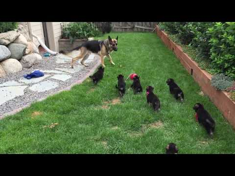 Cutest German Shepherd Puppies, Nursing Fail (from Mother and Father). Hilarious