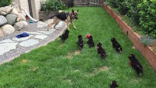German Shepherd Parents And Puppies 2015