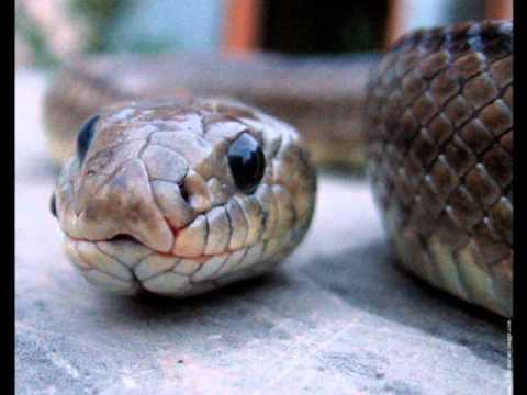 Musique/serpent