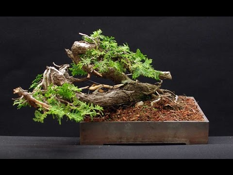 Canadian Hemlock Bonsai