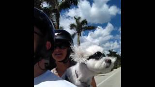 Dog Loves To Ride Motorcycle