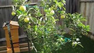 Fruit Trees: 3-in-1 Apple