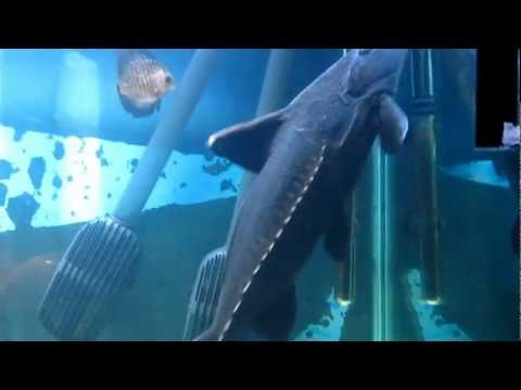 [HD] Ripsaw Catfish / Schwarzer Dornwels - Oxydoras niger | YOUAQUA CLASSIC from YouTube · High Definition · Duration:  36 seconds  · 951 views · uploaded on 1/29/2013 · uploaded by DBUULIK