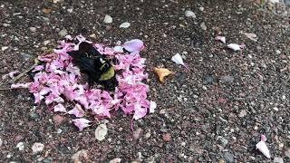 死んだハチのまわりに花びらを集めて置いていくアリたち。お葬式をあげている?闇の儀式?その目的は?