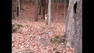 Bullmastiff/cane Corso