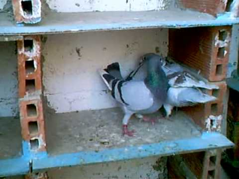 Combat de pigeon youtube - Pigeon de combat ...