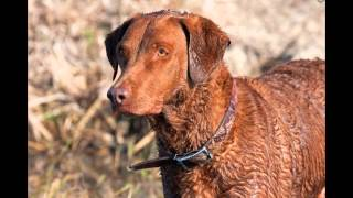 Чесапик- Бей Ретривер/Chesapeake Bay Retriever (порода собак HD slide show)!